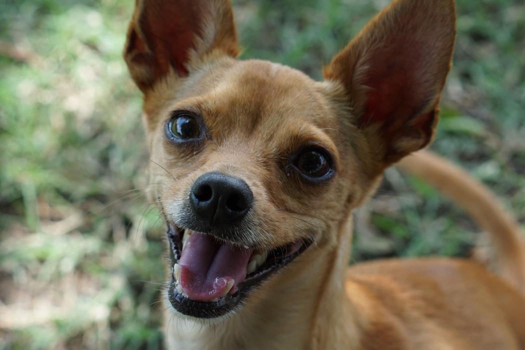 10 Dinge, die du über Chihuahuas wissen solltest