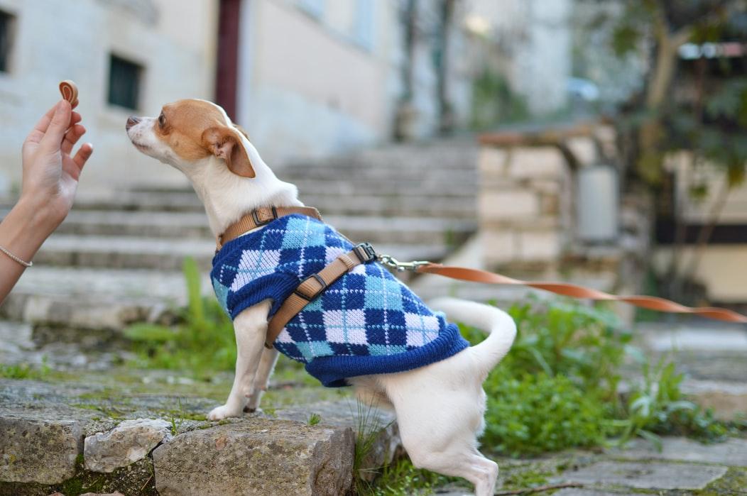 Chihuahuas mit Lob und Zuneigung trainieren
