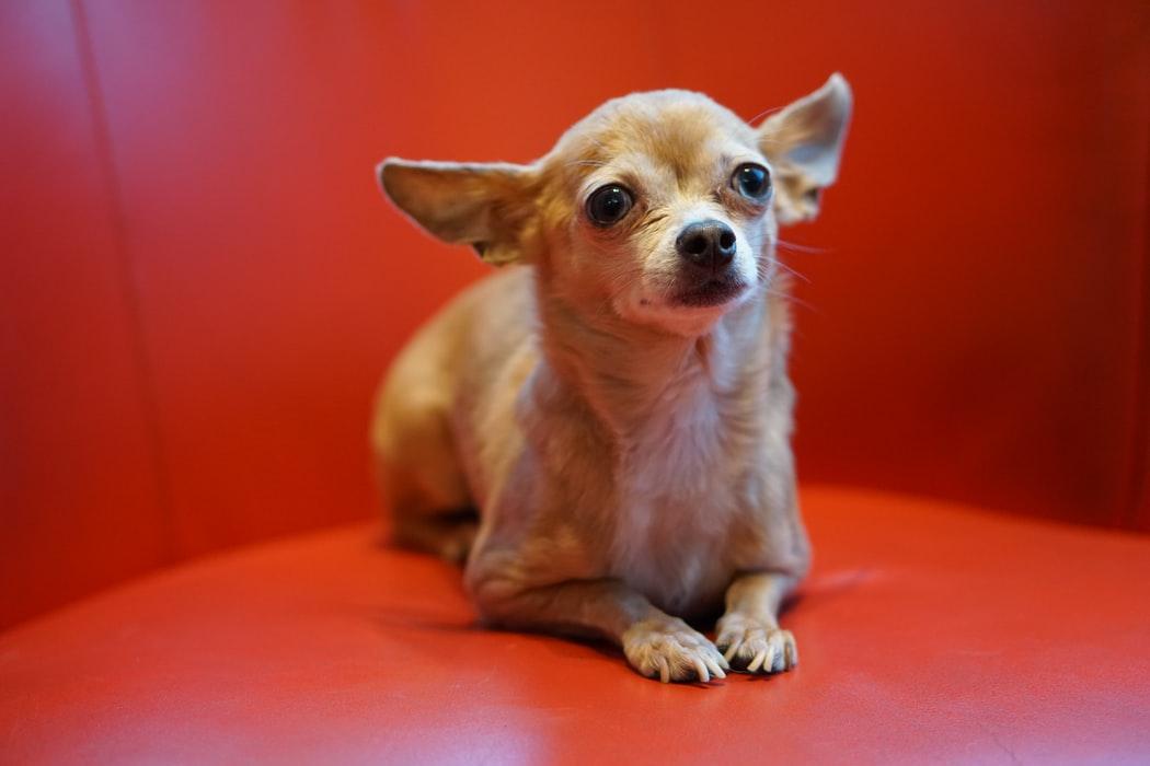 Die Chihuahua Kunst von George Rodrigue