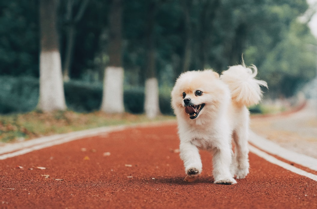 Geschichte des Pomeranian