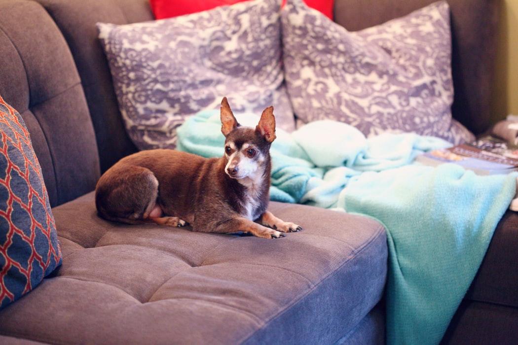 Probleme mit der Gesundheit des Chihuahuas