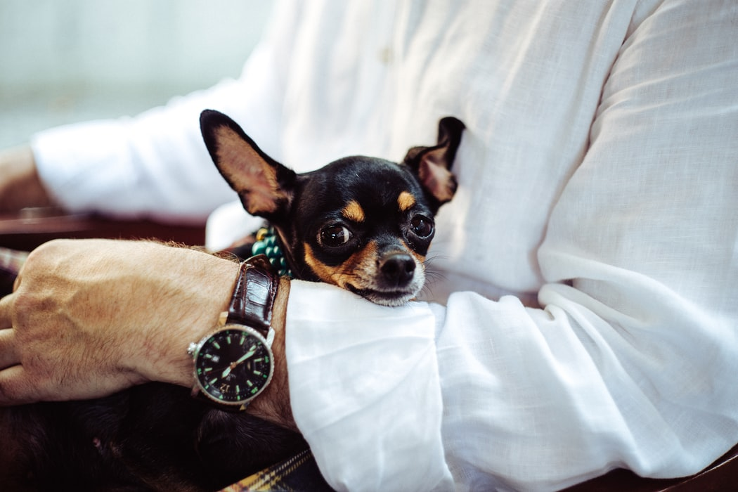 Töpfchentraining bei Chihuahua - Konsequenz ist der Schlüssel
