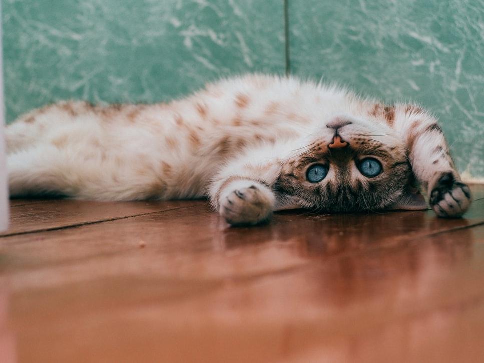 Verstehen, warum Katzen kämpfen