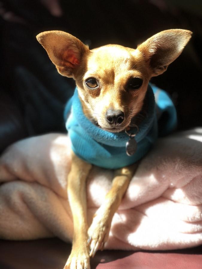 Wie man langhaarige Chihuahuas pflegt