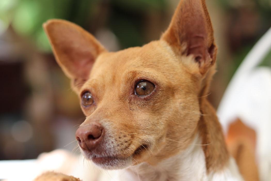 Wie man mit der Zucht von Chihuahuas umgeht